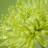 Arthouse Lime Chrysanthemum Art