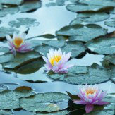 Arthouse Water Lilies Art