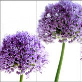 Arthouse Lilac Allium Triptych Art - Product code: 000317