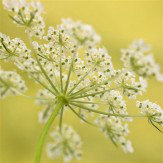 Arthouse Cowslip (cowparsley) Art