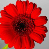 Arthouse Red and Grey Gerberas set of 3 Art