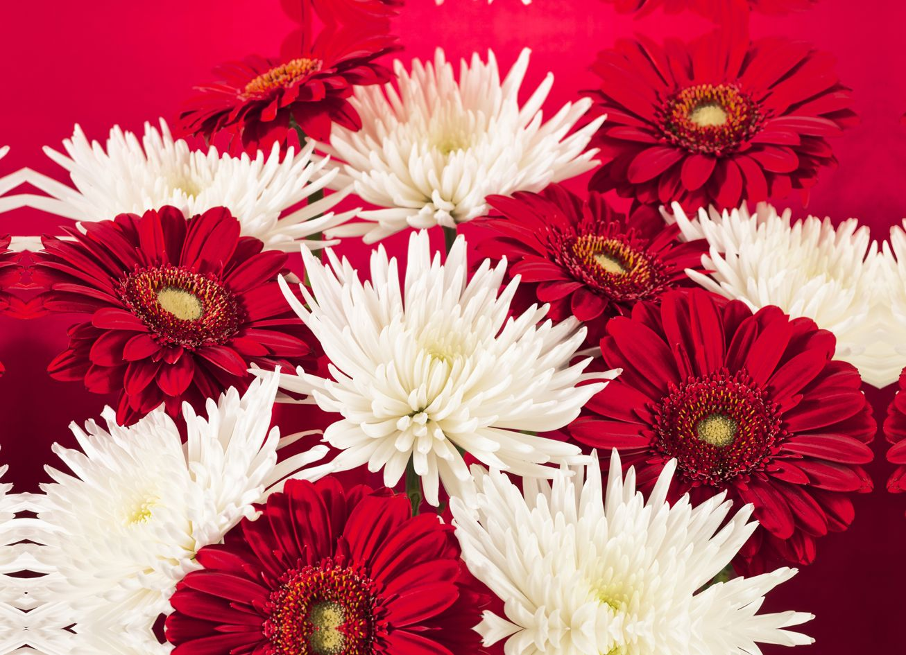 Unusual white chrysanthemum flower meaning pictures inspiration red white chrysanthemums triptych by arthouse wallpaper direct izmirmasajfo Choice Image