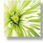 Arthouse Lime Chrysanthemums Set of 3 Printed Canvases Art
